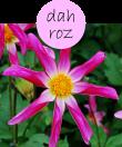 DAHROZ202m