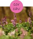 corcav12m