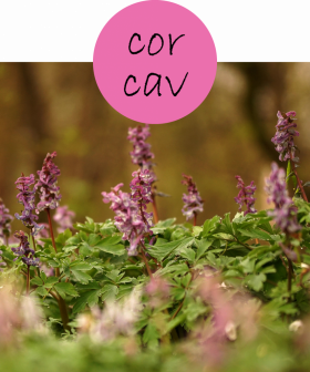 corcav12p