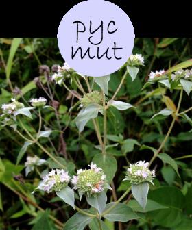 pycmut52p