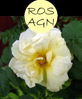 rosagn102p